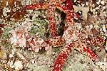 Harlequin shrimps feeding on starfish (Hymenocera elegans)