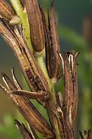 Gewöhnliche Nachtkerze, Zweijährige Nachtkerze, Samenkapsel, Frucht, Früchte, Samen, Oenothera biennis, Common Evening Primrose, Evening-Primrose, Evening star, Sun drop, seed, Onagre