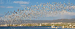 Wilson's Phalaropes (Phalaropus tricolor), flock in flight, Mono Lake, California, USA. Cropped to panorama format.