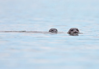 Harbor Seal with Pup  #W48