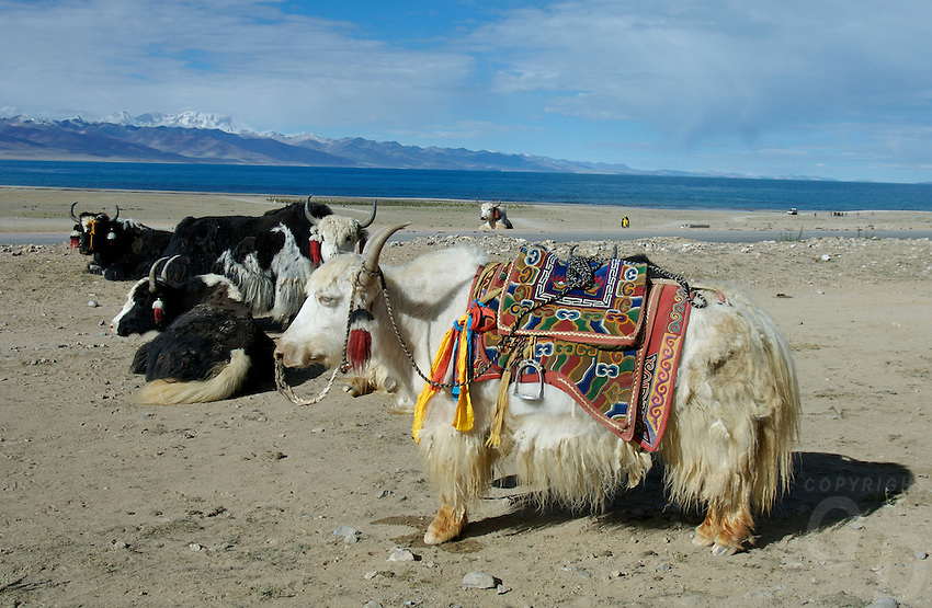 """A yak resting at Namtso Lake :Namtso, another holy lake in Tibet, is located near Damxung. 4718 meters (15475 feet) above sea level and covering 1900 square kilometers (735 square miles), the lake is the highest saltwater lake in the world and the second largest saltwater lake in China. The snow capped Mt. Nyainqentanglha, considered as the son of Namtso and leader of sacred mountains, soars up to sky beside her. Singing streams converge into the clean sapphire blue lake, which looks like a huge mirror framed and dotted with flowers..The Namtso Lake is held as """"the heavenly lake"""" or """"the holy lake"""" in northern Tibet. .Respected as one of the three holiest lakes in Tibet, the Namtso Lake is the seat of Paramasukha Chakrasamvara for Buddhist pilgrims. In the fifth and sixth month of the Tibetan calendar each year, many Buddhists come to the lake pay homage and pray. Deep tracks are worn into the lakeshore due to this activity. In history, monasteries stood like trees in a forest around the site, attracting large numbers of pilgrims as eminent monks in Buddhist temples extended Buddhist teachings...Buddhists believe Buddhas, Bodhisattvas and Vajras will assemble to hold religious meeting at Namtso in the year of sheep on Tibetan calendar. It is said that walking around the lake at the right moment is 100,000 times more efficacious than that in normal years. That's why thousands of pilgrims from every corner of the world come to pray at the site, with the activity reaching a climax on Tibetan April 15...Walking around the lake takes a week. Ritual walkers love to burn aromatic plants to raise smoke on Auspicious Island [explain this a little] and throw a piece of hada scarf into the lake as a token of fulfilled wishes. If the scarf sinks, it implies ones wish is accepted by the Buddha; if the scarf flows on the water or only half sinks, it means one has failed to be honest and something unhappy may lie ahead...On the four sides of the lake stand four monasteries, which"""