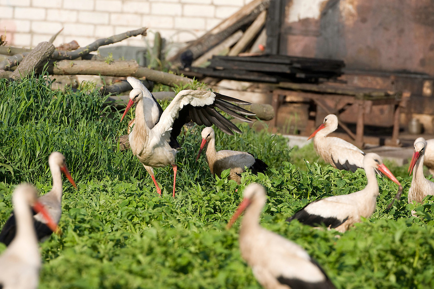 White stork (Ciconia ciconia) group feeding on discarded fish scraps. Rusne, Lithuania. Mission: Lithuania, June 2009
