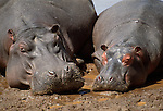 Hippopotamus sleeping in the mud, Kenya