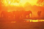 African Elephant, Loxodonta africana, Kwando, Botswana