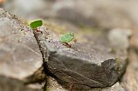 Leaf cutter ants, Carara, Costa Rica, Central America