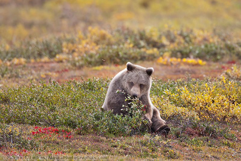 Young grizzly bear sits in the autumn tundra while feeding on ripe, red soapberries in Highway pass, Denali National Park, interior.