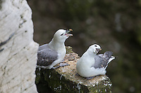 Northern Fulmar Courtship Display at Bempton