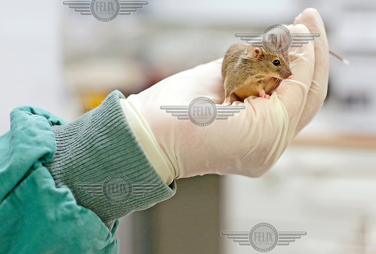 Mice being used in medical research