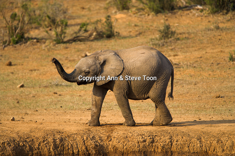 Young elephant, Loxodonta africana, with trunk up at water, Addo Elephant National park, Eastern Cape, South Africa