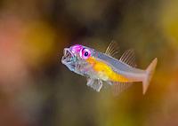Pink eye goby ,Bryaninops natans, Tulamben, Bali, Indonesia, Pacific Ocean