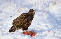 Mäusebussard, im Winter bei Schnee, frisst am Luder, Mäuse-Bussard, Bussard, Buteo buteo, common buzzard