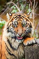 Sumatran tiger, Panthera tigris sumatrae, endangered