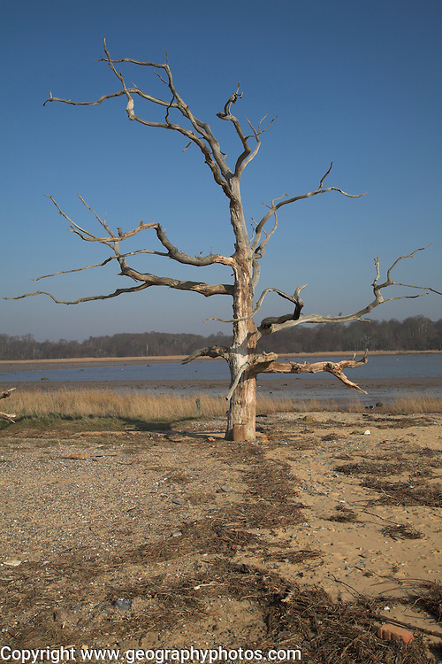 Dramatic dead tree, Benacre Broad, national nature, reserve, Suffolk, England