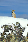 Grey Fox sitting on snow covered ridge on sunny winters day.