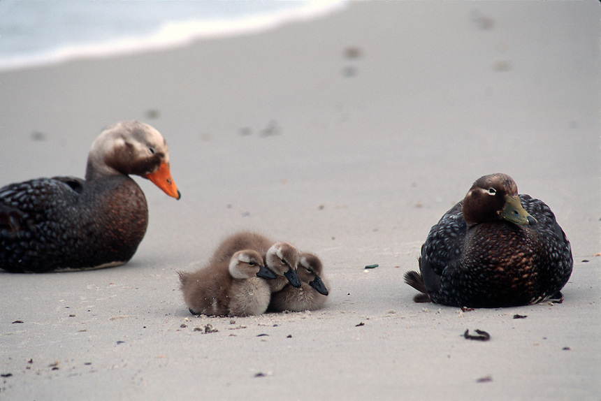 A family of flightless steamer ducks nestle on a Falkland Islands beach.