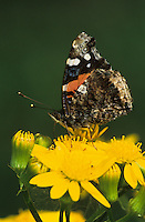 Red Admiral, Vanessa atalanta, adult on Texas Squaw Weed (Senecio ampullaceus) , Willacy County, Rio Grande Valley, Texas, USA, May 2004