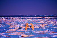 Two male Polar Bears prepare to wrestle (more playful than serious) along the shore of Hudson Bay.  November.