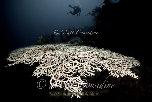 Monochrome of large fragile coral structure on the wreck of the Japanese Iro sunk during WWII. Some experts believe this wreck is actually the Sata, Palau Micronesia. (Photo by Matt Considine - Images of Asia Collection)