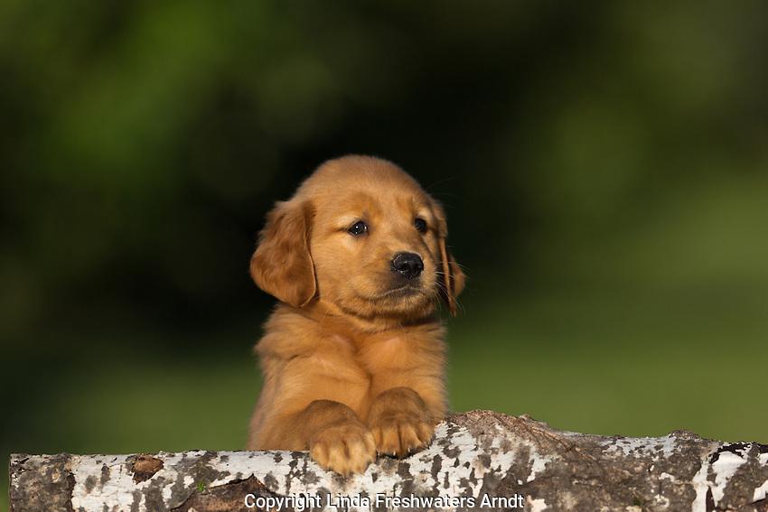 Goldern retriever puppy