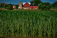 Corn growing in an Ohio field in July during record-breaking heat as farmers worry about ripening field corn and soybeans, Some truck crop corn is already mature and being sold in markets and delivered to stores..