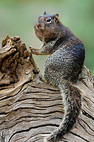679330012 a wild rock squirrel spermophilus variegatus poses on a large tree limb in the hill country of central texas