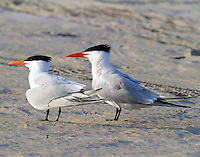 Royal tern pair in breeding plumage