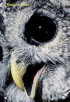 OW01-060z  Barred owl - Strix varia
