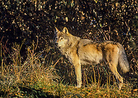 Gray Wolf (Canis lupus).  Montana.  Fall.  Early morning light.