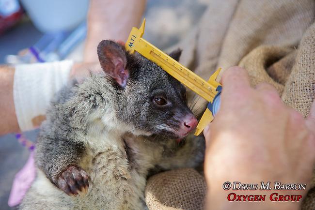 Measuring Mountain Brushtail Possum