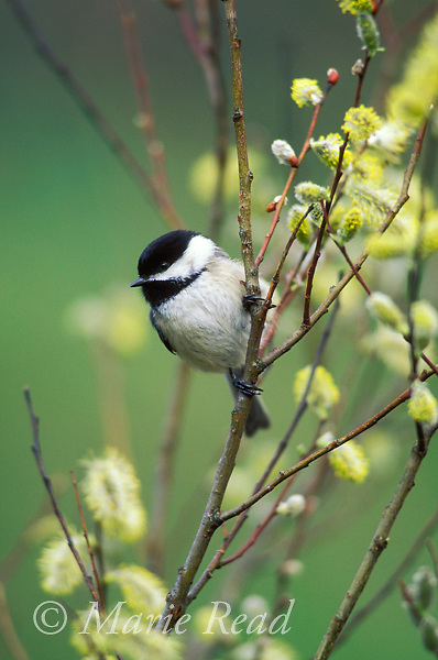 Black-capped Chickadee (Poecile atricapilla) perched amid pussy willow catkins in spring, New York, USA<br /> Slide # B123-184