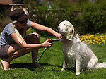 Young smiling woman giving her Golden Retriever a bath from a hose in a back yard