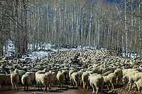 A large herd of sheep are led through a country road in Southern Utah.