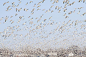 Some 20,000 geese stop to rest in this flooded farm field. This  is a protected flood area for migratory birds in Saint-Joseph-de-Maskinonge near Louiseville along highway 40 east in Quebec, Canada