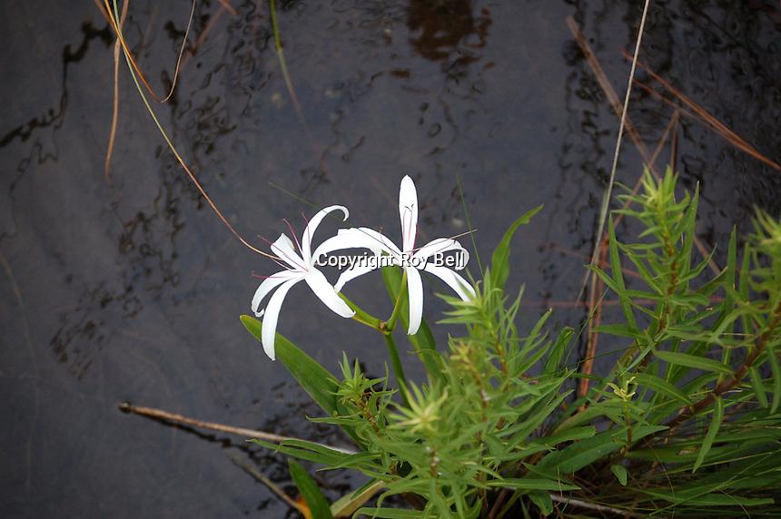 A type of lily found in wetlands near the Gulf Coast. Elberta Alabama Jan. 2008