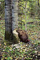 Beaver cutting aspen tree