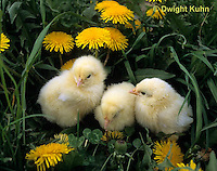 DG13-024z  Chicken - newly hatched chicks among dandelions, fluffy