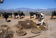 February 1975, Pokhara area, Nepal. Daily life. Making fuel with cow dungs.