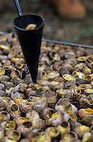 Europe/France/Languedoc-Roussillon/66/Pyrénées-Orientales/Banyuls-sur-Mer: recettes de la Sanch - cuisson des escargots pour la Cargolade - escargots grillés aux Sarments de vigne