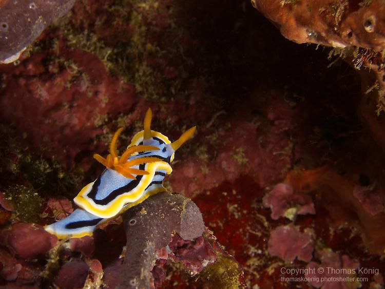 Shi Lang, Green island -- The nudibranch Chromodoris annae.