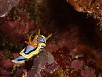 Shi Lang, Green island -- The nudibranch Chromodoris annae.