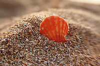 A close-up of an orange and yellow sunrise shell in the sand at a North Shore beach on O'ahu.