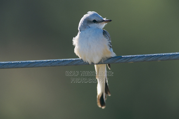 Scissor-tailed Flycatcher, Tyrannus forficatus,young on wire, Choke Canyon State Park, Texas, USA, September 2002