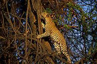Leopard..Panthera pardus....
