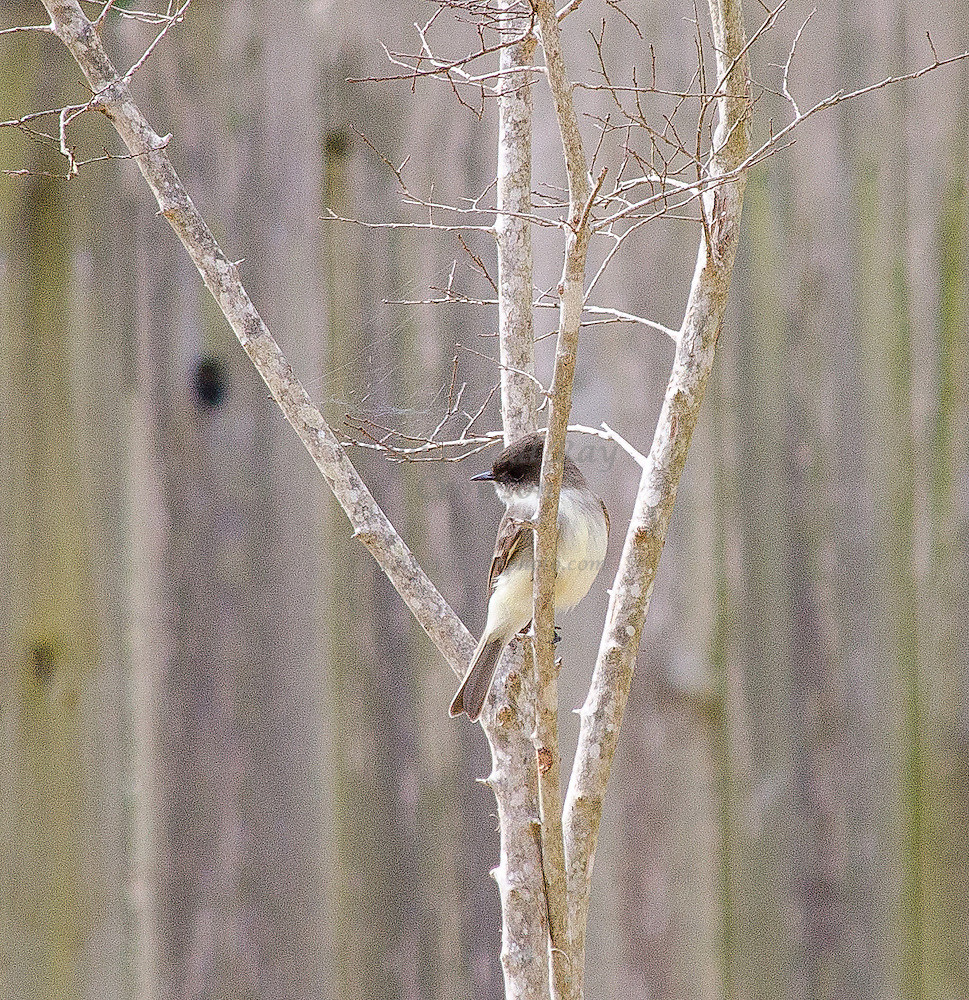Eastern Phoebe perched in Crepe Myrtle