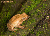 0302-0911  Spring Peeper Frog Climbing Mossy Tree Bark, Pseudacris crucifer (formerly: Hyla crucifer)  © David Kuhn/Dwight Kuhn Photography
