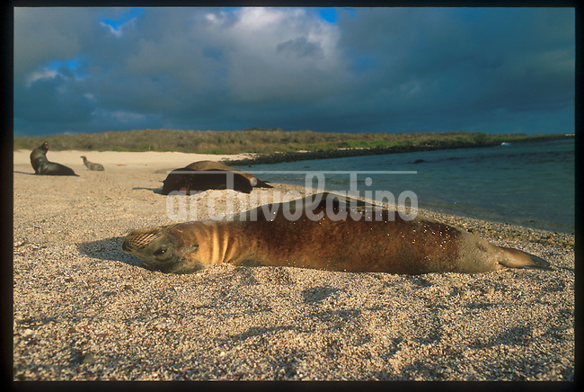 El archipielago de Galapagos, las islas que constituyen la reserva faunistica mas grande del mundo, con iguanas, lobos marinos, tortugas gigantes y aves marinas de toda especie.*Galapagos islands, the largest fauna reserve of the Orld thanks to all the species that get a natural refugee there: iguanas, sea lyons, turtles, and all kind of sea birds. *I îles Galapagos. +reptiles, lézards, varans, faune, animaux