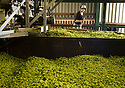 05/09/14 <br /> <br /> The hops are raked out before being baked.<br /> <br /> Thanks to ideal growing conditions over the summer, Britain's hop harvest is set to be a bumper crop.<br /> <br /> Picking stopped early yesterday at Stocks Farm, Worcestershire, as the 'Heath Robinson' style 1962 Bruff hop picking machine was overwhelmed by the volume of hops coming in from the 100 acres of hops the farm grows.<br /> <br /> The golding hops are the first to picked this year from the bines that are strung up on a total of 550 miles of twine that stretch across the farmland near the Malvern Hills. &quot;That's enough to make 46m pints of craft ale&quot; said farmer and hop expert Ali Capper.<br /> <br /> The farm grows a variety of hops supplying national brewers including Fullers, Greene King, St Austell and Marston's, and hundreds of craft breweries and brewers in the UK and USA.<br /> <br /> &quot;We've had perfect growing conditions this year, a lovely warm summer and even rainfall. The whole crop is looking wonderful and the aromas are much better than last year,<br /> <br /> &quot;It should be a bumper crop - but we can't be sure until it's all in&quot;<br /> <br /> &quot;The demand from small brewers is rising each year&quot; added Ali<br /> <br /> &quot;This year we'll be selling 100 gram bags for home brewers too - that's enough to brew at least 20 pints. <br /> <br /> In 2013 almost half of all British hops were exported to to the USA - and this figure is still rising&quot; she said.<br /> <br /> All Rights Reserved - F Stop Press.  www.fstoppress.com. Tel: +44 (0)1335 300098