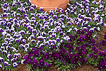VIOLA 'FLOWER POWER DEEP PURPLE BEACON' AND 'NATURE PLUM PURPLE', PANSY