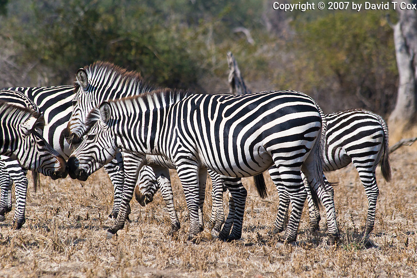 Crawshai Zebra, South Luangwa NP, Zambia