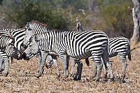 Crawshai Zebra, South Luangwa NP, Zambia